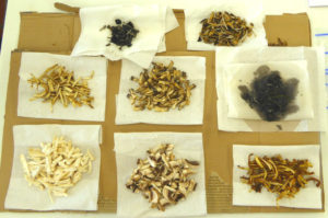 Mushroom samples to make mycelium